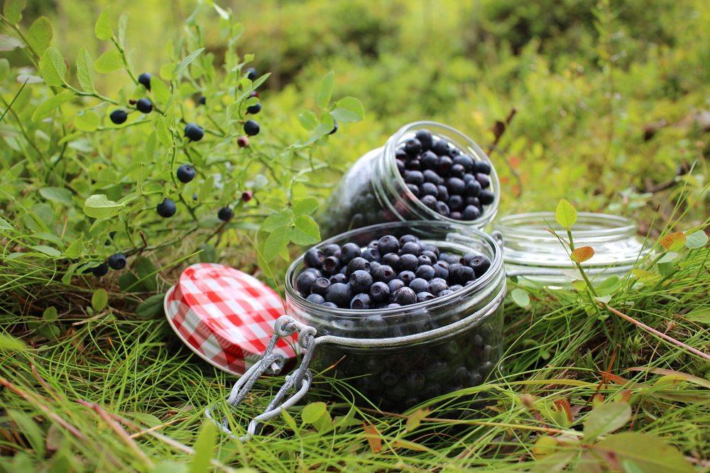 blåbär mot hård mage